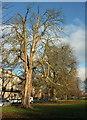 SE3155 : Trees along Park Parade, Harrogate by Derek Harper