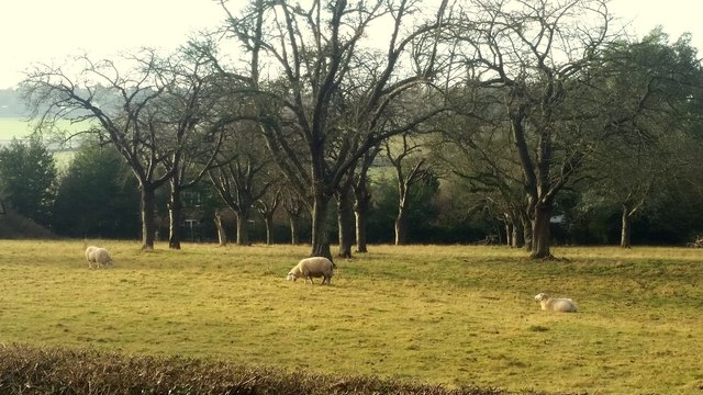 Sheep in an old orchard