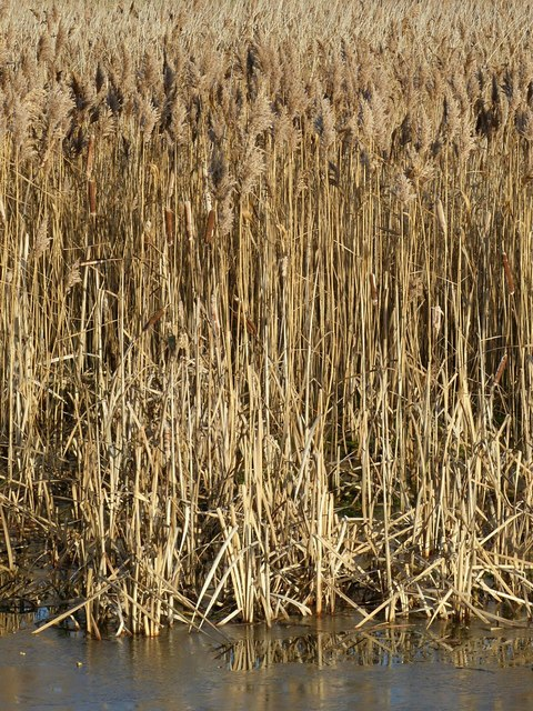 Phragmites in the upper lagoon