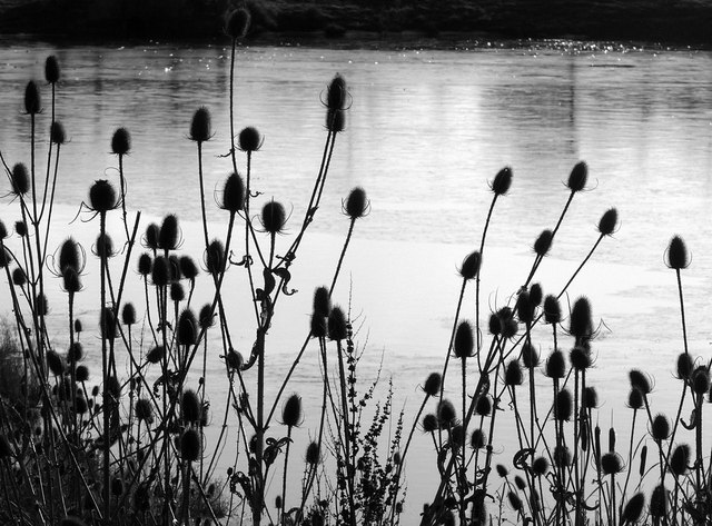 Teasels by the frozen Northern Basin