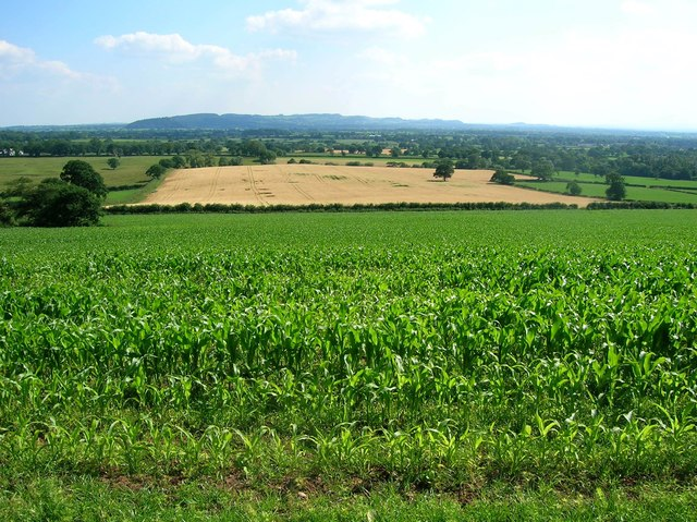 Maize field and view across the river Gowy valley