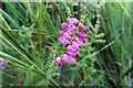 SY9787 : Erica ciliaris (Dorset Heath) by Phil Champion