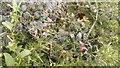SZ0377 : Rubia tinctorum (common madder) by Phil Champion