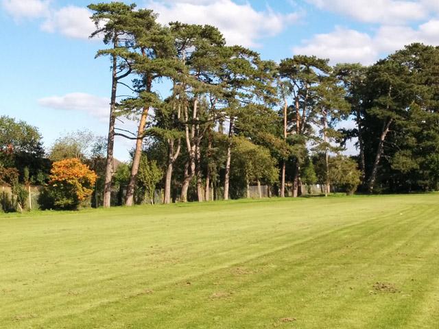 Pine trees, Goffs Park, Crawley