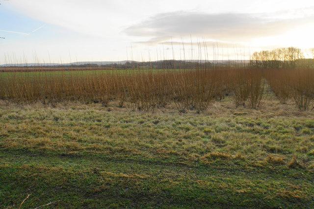 Willow crop near Scotsgrove Mill