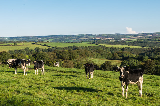 Cattle at Trelowarren