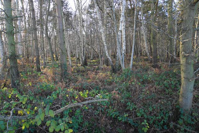 Big Lyntus Wood