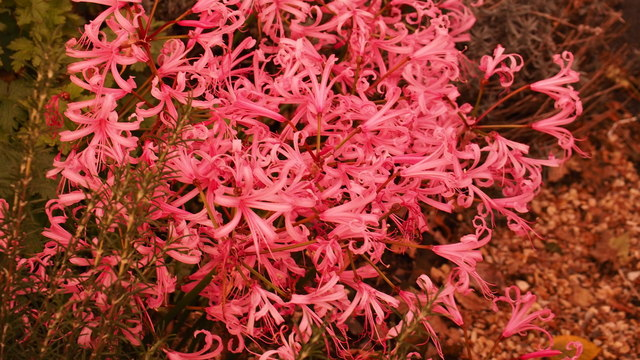 Pink explosion