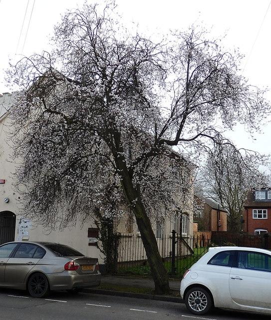 Apple blossom in Leam Terrace, Leamington