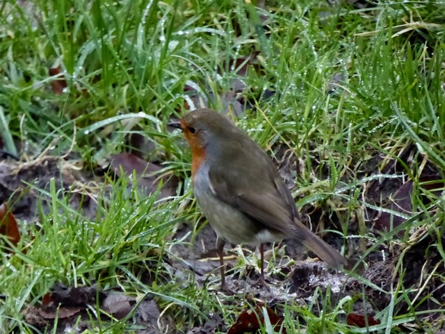 Robin in the grass, Cranny
