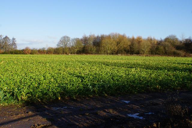 A field of beet near Wood End Farm
