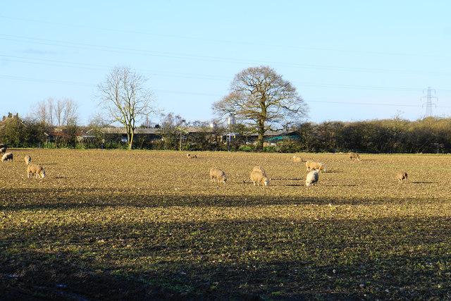 Winter pickings for sheep