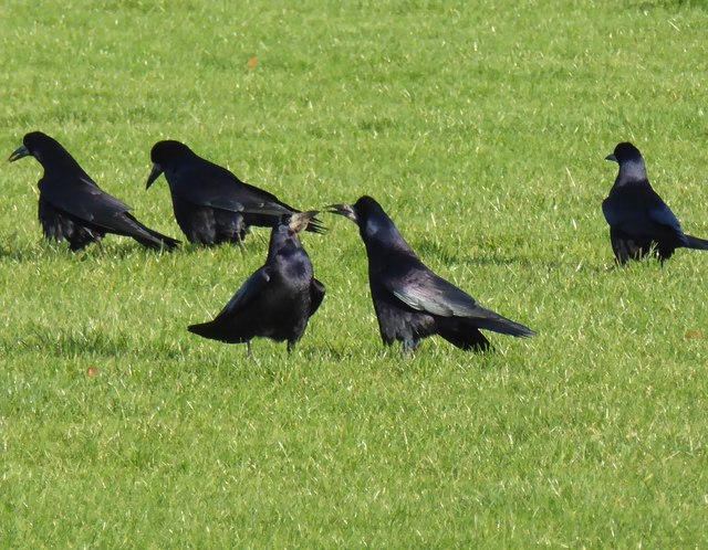 Rooks, Mullaghmore, Omagh