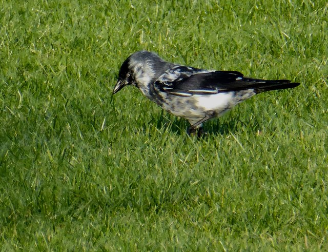 Blue eye jackdaw, Mullaghmore, Omagh