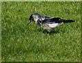 H4772 : Blue eye jackdaw, Mullaghmore, Omagh by Kenneth  Allen