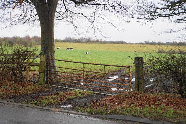 Cows near Roughley