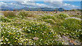 V4365 : Sea mayweed above the beach at Ballinskelligs, County Kerry by Phil Champion