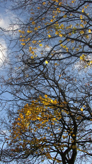 Sycamore leaves above the railway. Torquay
