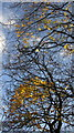 SX9065 : Sycamore leaves above the railway. Torquay by Derek Harper
