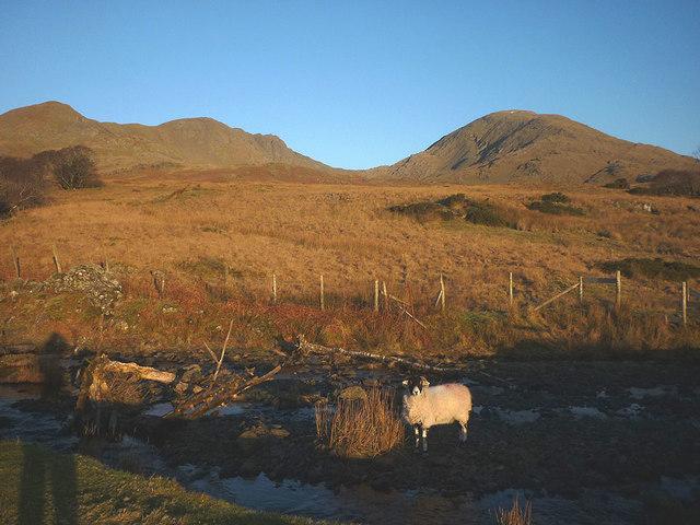 A sheep in Ashgill Beck