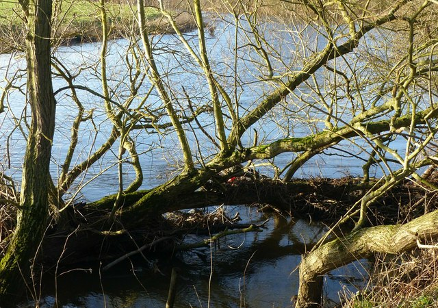 Partly submerged willow alongside the River Derwent