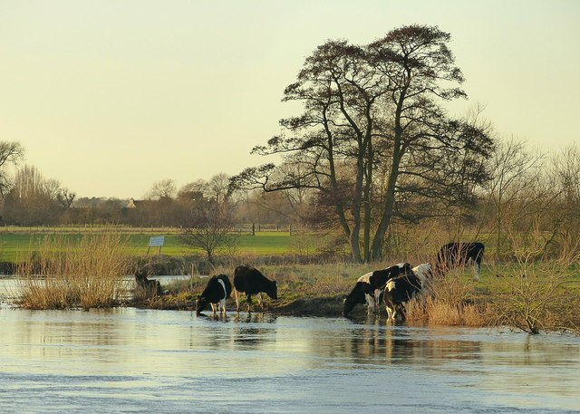Cattle drinking in the River Trent