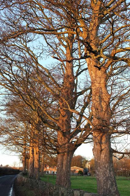 Roadside trees near Thorpe Farm