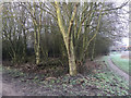 SP3879 : Planted trees overtop blackthorn thickets, Walsgrave, east Coventry by Robin Stott