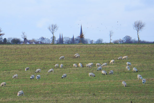 Field of sheep by Ingleyhill Farm
