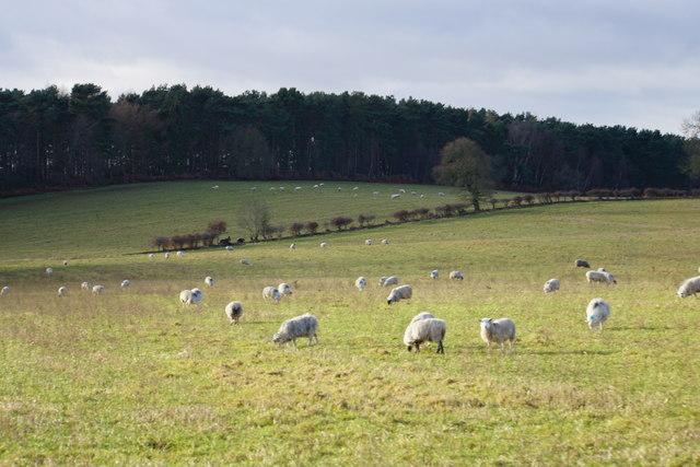 Sheep near Ingleyhill Farm