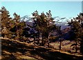 NO1893 : Scattered pines above Fellagie Burn by Alan Reid