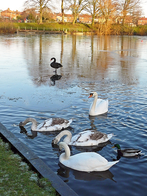 Black and white swans at Hammond's Pond