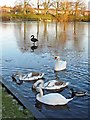 NY4053 : Black and white swans at Hammond's Pond by Rose and Trev Clough