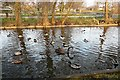 NY4053 : Black swan and ducks at Hammond's Pond by Rose and Trev Clough