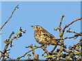 NJ2465 : Mistle Thrush (Turdus viscivorus) : Week 3