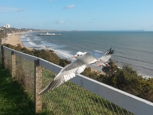 Westbourne: a gull takes off