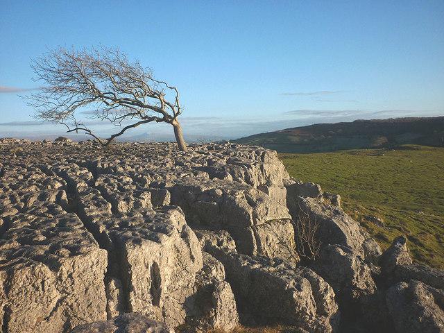 Windswept tree, Newbiggin Crags