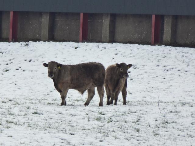 Hardy animals, Cloghfin