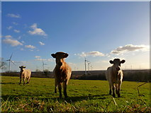 N5126 : Curious Cows Mount Lucas Co. Offaly by Kenneth Gallery Smyth