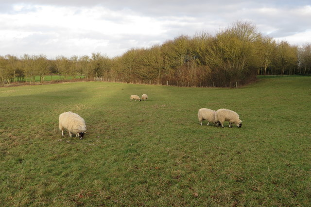 Sheep in front of one of the Campbell Park copses