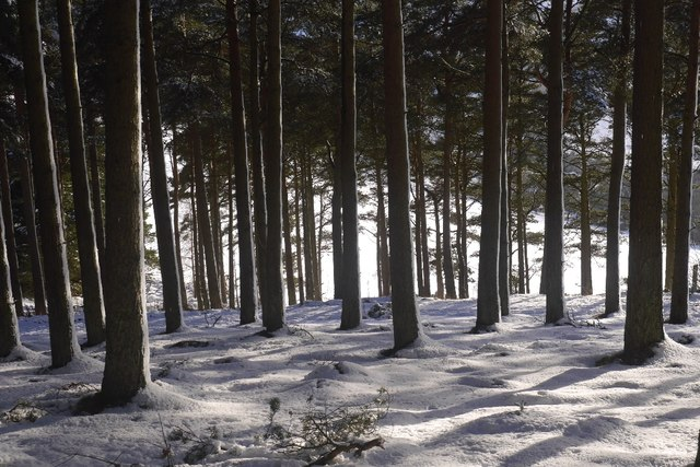Mature conifers, Glentress Forest