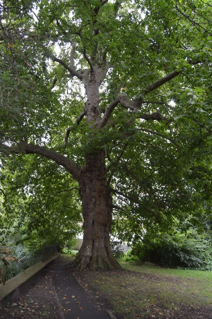 Oak Tree by the River Wandle
