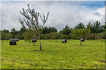 SX4268 : The Mother Orchard by Ian Capper