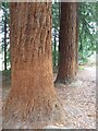 SO5051 : Trunks of Coastal Redwood by Philip Halling