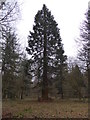 SO5051 : Wellingtonia tree by Philip Halling