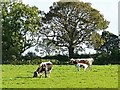 NY4058 : Longhorn cattle at Gosling Sike Farm by Rose and Trev Clough