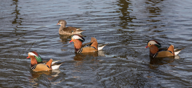 Mandarin Ducks in Pond, Trent Park