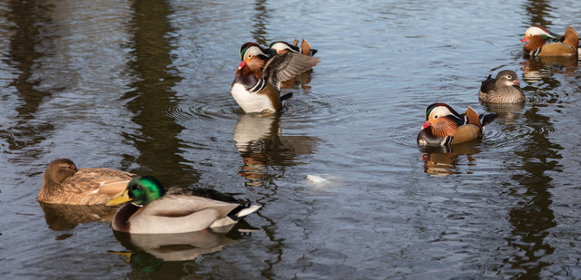 Mandarin Ducks in Pond, Trent Park