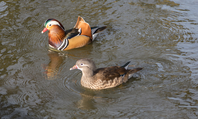 Pair of Mandarin Ducks in Pond, Trent Park