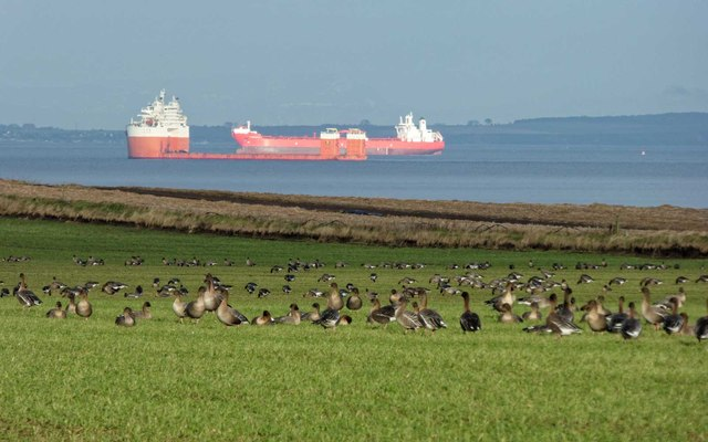 Pink footed Geese - Hilton of Delnies